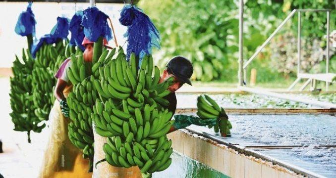 ECUADOR REASSURES EUROPE OF CONTINUED FRUIT SUPPLY