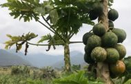 Arla Foods Ingredients joins GAIN partners to develop a new business model for affordable nutrition using papaya waste